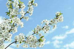 Kirschblüten-Frühlings-Weiß Stockfoto