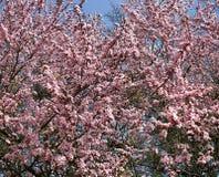 Kirschblüten gegen blauen Himmel, nahtlose horizontale Beschaffenheit HD Lizenzfreie Stockfotos