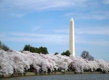 Kirschblüten in Gleichstrom Stockbilder