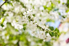 Kirschblüten im Frühjahr Lizenzfreies Stockfoto