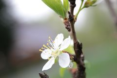 Kirschblüten im Frühjahr stockfotos