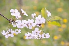 Kirschblüten im Frühjahr Lizenzfreie Stockfotos