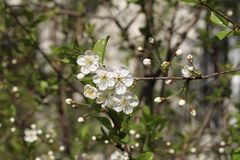 Kirschblüten im Park Stockfotografie