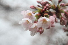 Kirschblüten in Kirschblüte kein Sato, Izu, Shizuoka-Regentropfen Stockfoto