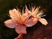 Kirschblüten, Kirsche, Blume Lizenzfreies Stockbild