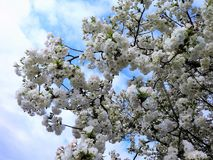 Kirschblüten mit einem Frühlingshimmel Stockfotografie
