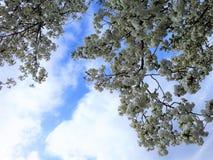 Kirschblüten mit einem Frühlingshimmel Stockfoto