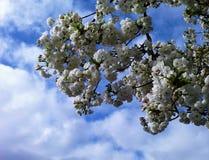 Kirschblüten mit einem Frühlingshimmel Stockfotos