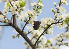 Kirschblüten mit einem Schmetterling Stockfotografie