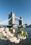 Kirschblüten mit Turmbrücke im Hintergrund Stockfotografie