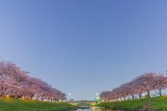 Kirschblüten nachts Lizenzfreies Stockbild