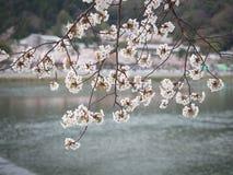 Kirschblüten-Niederlassungsabdeckung auf dem Fluss lizenzfreie stockfotografie