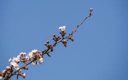 Kirschblüten oder Kirschblüte Lizenzfreie Stockbilder