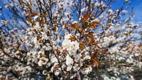 Kirschblüten oder Kirschblüte Lizenzfreies Stockbild