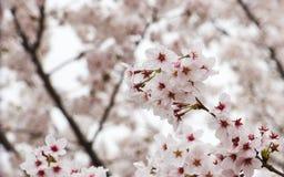Kirschblüten oder Kirschblüte Stockfotografie