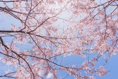 Kirschblüten oder Kirschblüte mit blauem Himmel Stockfotografie