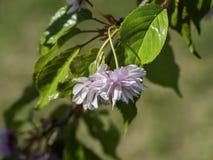 Kirschblüten, Prunus serrulata Kanzan lizenzfreies stockfoto