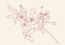 Kirschblüten-Skizzenart-Vektorillustration Cherry Blossom Lizenzfreies Stockbild