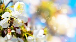 Kirschblüten und eine Biene auf einem farbigen Hintergrund Stockfotografie