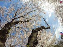 Kirschblüten und Sakura Festival-Laternen mit Hintergrund des blauen Himmels bei Asukayama parken in Kita, Tokyo, Japan Lizenzfreie Stockfotografie