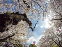 Kirschblüten und Sakura Festival-Laternen mit Hintergrund des blauen Himmels bei Asukayama parken in Kita, Tokyo, Japan Lizenzfreies Stockfoto
