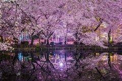 Kirschblüten von Inokashira-Park lizenzfreie stockfotografie