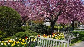 Kirschblütenbäume lizenzfreie stockbilder