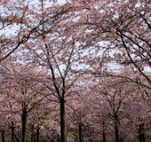 Kirschblütenbäume Lizenzfreies Stockbild