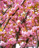 Kirschblütenbaum in London Lizenzfreies Stockbild