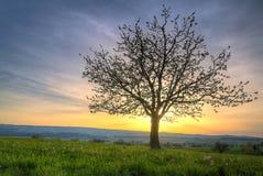 Kirschblütenbaum am Sonnenuntergang Lizenzfreie Stockfotos