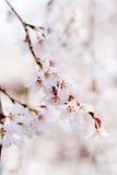 Kirschblütenblüte in Japan Stockbild