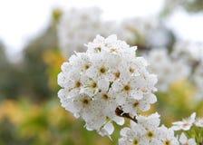 Kirschblütenblumen in der Gruppe Stockfoto