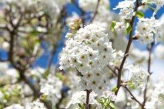 Kirschblütenblumen in der Gruppe Stockfotos