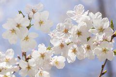 Japanische Kirschblüten - Kirschblüte Lizenzfreie Stockfotografie