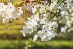 Kirschblütengruppe von Blumen mit Geruch in der weißen Farbe mit Lizenzfreies Stockbild