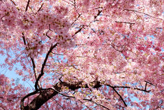 Kirschblütenhintergrund Lizenzfreies Stockbild