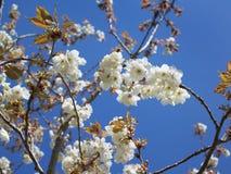 Kirschblütenhintergrund Lizenzfreie Stockfotos