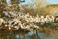 Kirschblütenjahreszeit Stockfoto