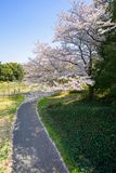 Kirschblütenjahreszeit in Showa Kinen Koen stockfoto