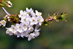 Kirschblütenmakro Stockfotografie