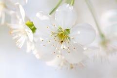 Kirschblütennahaufnahme lizenzfreies stockfoto
