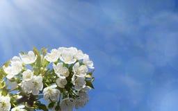 Kirschblütennahaufnahme in der Sonne mit bokeh Lizenzfreie Stockfotografie