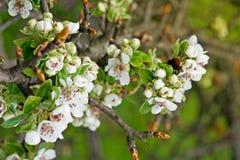 Kirschblütenniederlassung Lizenzfreies Stockbild
