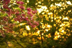 Kirschblütenrosa blüht auf Baumast über Sonnenuntergang Lizenzfreies Stockbild