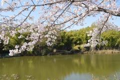 Kirschblütensitzung Stockfotos