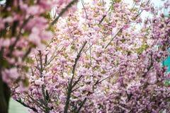 Kirschbl?te ist- eine Blume einiger B?ume der Klasse Prunus, besonders die japanische Kirsche, Prunus serrulata, das s genannt wi stockfoto