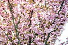 Kirschbl?te ist- eine Blume einiger B?ume der Klasse Prunus, besonders die japanische Kirsche, Prunus serrulata, das s genannt wi lizenzfreie stockfotografie
