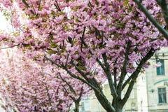 Kirschbl?te ist- eine Blume einiger B?ume der Klasse Prunus, besonders die japanische Kirsche, Prunus serrulata, das s genannt wi stockfotos