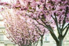Kirschbl?te ist- eine Blume einiger B?ume der Klasse Prunus, besonders die japanische Kirsche, Prunus serrulata, das s genannt wi lizenzfreies stockbild