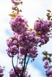 Kirschbl?te ist- eine Blume einiger B?ume der Klasse Prunus, besonders die japanische Kirsche, Prunus serrulata, das s genannt wi lizenzfreies stockfoto